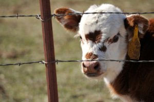 cow-in-barb-wire-fence